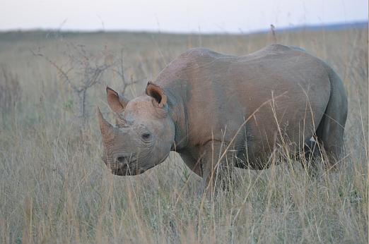 Nosoročec černý